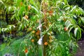 Персик колоновидный Сувенир  средний  Prunus persica  высота 120-150см