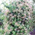 Жимолость камчатская Атут Lоnicera Kamschaticum высота 30-40см