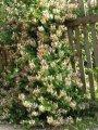Жимолость камчатская  Lоnicera Kamschaticum высота 50-70см