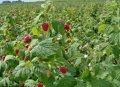 Малина домашняя Глен Ампл  средняя  Rubus idaeus высота 110-130