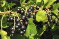 Смородина черная Белорусская  ранняя  Ribes nigrum  высота 45-55см
