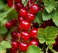 Currant red Rond late Ribes rubrum height the 45-55th
