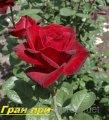 Саженец чайногибридных роз Гран при