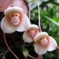 """Семена цветов - """"Лицо обезьяны"""" s3"""