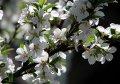 Prunus Accolade cherry Grasp of a trunk 250-300