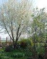 Prunus avium Plena cherry Grasp of a trunk 350-400