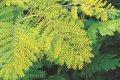 Гледичия Gleditsia triac. Sunburst  Обхват ствола 12-14