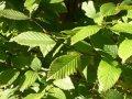 Carpinus betulus hornbeam Grasp of a trunk 14-16