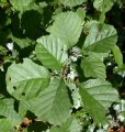 Ольха Alnus glutinosa Обхват ствола 6-8