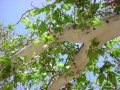 Платан Platanus acerifolia Обхват ствола 200-250