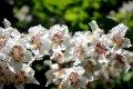 Платан Platanus acerifolia Обхват ствола 8-10