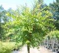 Робиния Robinia pseud. Umbraculifera  Обхват ствола 10-12