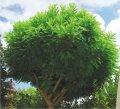 Робиния Robinia pseud. Umbraculifera  Обхват ствола 12-14