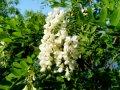 Софора Sophora japonica Pendula  Обхват ствола 6-8