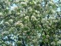 Яблоня Malus Liset  Обхват ствола 8-10