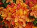 Азалия Azalea  KH  Sunte Nectarine обхват ствола 30-40