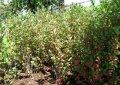 Арония Aronia prunifolia Nero обхват ствола 40-60