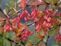Барбарис Berberis thunb. Atropurpurea Nana обхват ствола 15-20