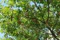 Вишня Prunus subh. Fukubana обхват ствола 150KM