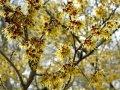 Гамамелис Hamamelis interm. Orange Beauty обхват ствола 20-30
