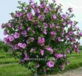 Гибискус Hibiscus syr. Ardens обхват ствола 30-40