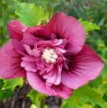 Гибискус Hibiscus syr. Duc de Brabant обхват ствола 30-40