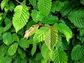 Граб Carpinus betulus Pendula обхват ствола 150KM