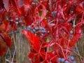 Девичий виноград Parthenocissus quinq. Silver Shower обхват ствола 40