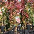 Девичий виноград Parthenocissus quinq. Troki обхват ствола 40
