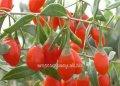 Дереза Lycium chinense Goji Berry обхват ствола 20-30