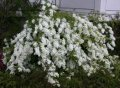 Ексхорда Exochorda macrantha The Bride обхват ствола 20-30