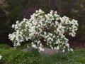 Ексхорда Exochorda racemosa Niagara'® обхват ствола 30-40