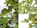 Инжир Ficus carica Brown Turkey обхват ствола 30-40