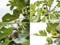 Инжир Ficus carica Brown Turkey обхват ствола 30-40