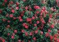 Камелия Camellia jap. Brushfield's Yellow обхват ствола 30-40