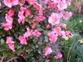 Камелия Camellia jap. Mary Williams обхват ствола 30-40
