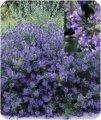 Кариоптерис Caryopteris cland. Grand Bleu'® обхват ствола 20-30