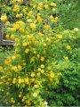Керия Kerria japonica Golden Guinea обхват ствола 40-60