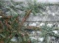 Кизильник Cotoneaster hor. Robustus обхват ствола 20-30