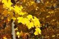 Клен Acer palm. Burgundy Lace обхват ствола 20-30