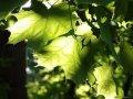Клен Acer palm. Garnet обхват ствола 40-60