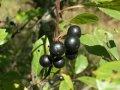 Крушина Rhamnus frangula Asplenifolium обхват ствола 20-30