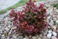 Леукотое Leucothoe axillaris Curly Red'® обхват ствола 20-30