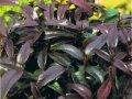 Леукотое Leucothoe fontanesiana Little Flames PBR обхват ствола 20-30