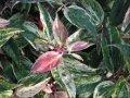 Леукотое Leucothoe keiskei Burning Love'® обхват ствола 20-30