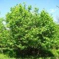 Лещина Corylus maxima Purpurea обхват ствола 30-40