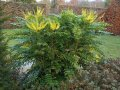 Magoniya Mahonia media Winter Sun grasp of a trunk 30-40