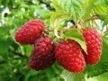 Малина Rubus frut. Chester Thornless обхват ствола 40