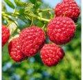 Малина Rubus frut. Dirksens Thornless обхват ствола 40