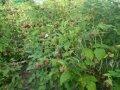 Малина Rubus frut. Navaho обхват ствола 40